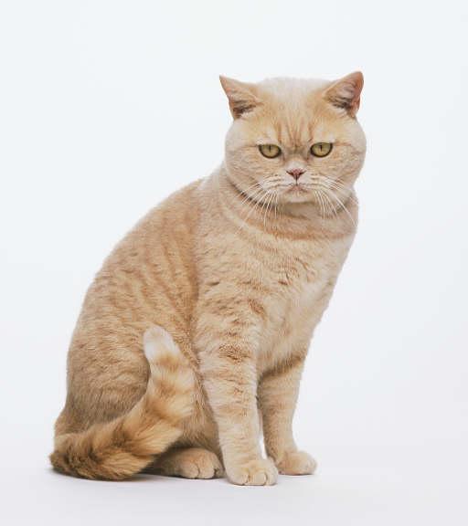 Roestkleurige Britse korthaar kat
