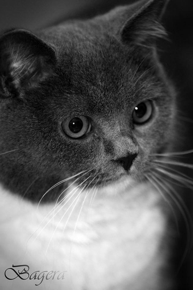 Kitten Britse Korthaar ( Foto Ost )